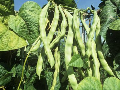 Pole Snap Beans Ripening on the Plant, 'Champagne' by David Cavagnaro