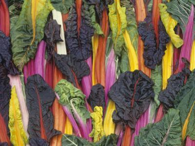 Rainbow or Five-Colored Swiss Chard by David Cavagnaro