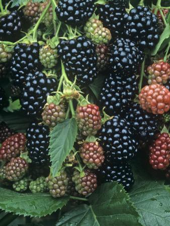 Ripe and Ripening Blackberries Thorn Free Variety, Rubus, North America by David Cavagnaro