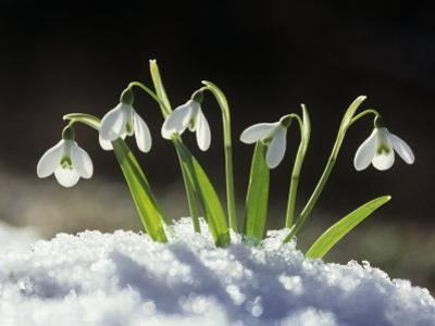 Snowdrop Flowers Blooming in the Snow, Galanthus Nivalis by David Cavagnaro