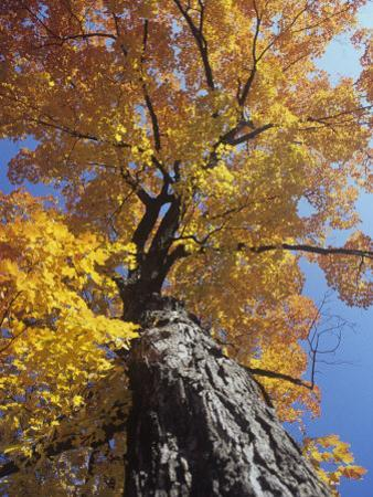 Sugar Maple in Fall Colors, Acer Saccharum, Eastern North America by David Cavagnaro