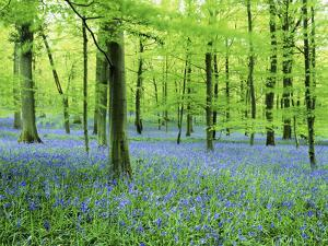 Forest Floor of Bluebells by David Cheshire