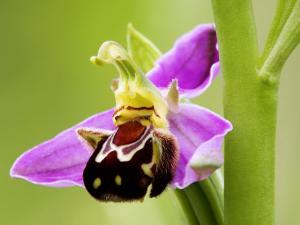 Bee Orchid, Close up of Single Flower, UK by David Clapp