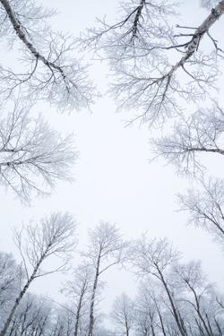 Birch Trees in the Snow, Kiruna, Sweden by David Clapp