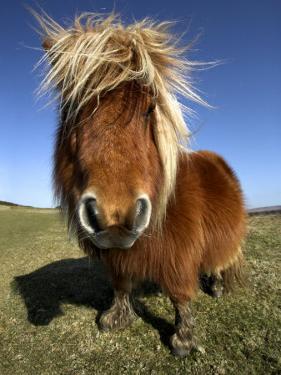 Shetland Pony Grazing on Dartmoor, UK by David Clapp