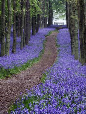 Spring Bluebell Woodlands, Hertfordshire, UK by David Clapp