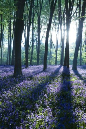 Sunlight Through Treetrunks in Bluebell Woods, Micheldever, Hampshire, England
