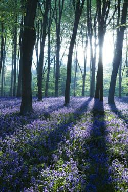 Sunlight Through Treetrunks in Bluebell Woods, Micheldever, Hampshire, England by David Clapp