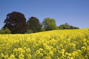 Yellow Rape Fields, Canola Fields, Wiltshire, England Against a Blue Sky by David Clapp