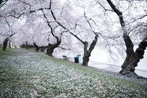 Washington DC - Petals Falling of the Cherry Blossoms by David Coleman