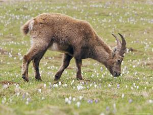 Ibex, Young Male Grazing, Switzerland by David Courtenay