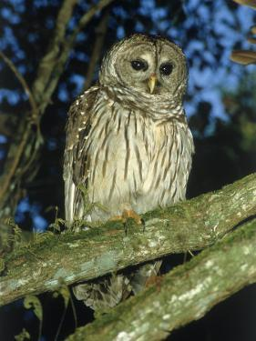 Florida Barred Owl, Strix Varia Georgica by David Davis