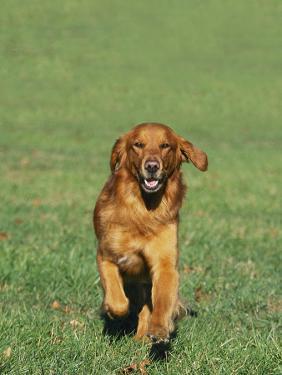Golden Retriever Running Towards You on Grass by David Davis