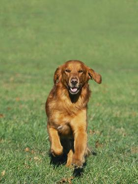 Golden Retriever Running Towards You on Grass by David Davis