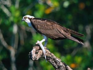 Osprey (Pandion Haliaetus) with Fish by David Davis