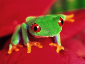 Red-Eyed Tree Frog by David Davis