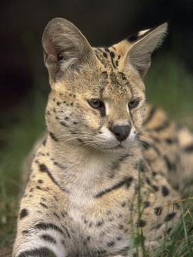 Serval (Felis Serval) by David Davis
