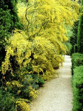 Bright Yellow Flowering Spiny Shrub Genista Syn. Chamaespartium (Broom), Oxfordshire Garden by David Dixon