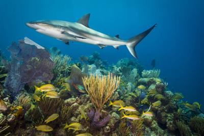 A Caribbean Reef Shark Patrols Gardens of the Queen National Marine Park in Cuba by David Doubilet