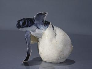 A Close View of a Hatching Endangered Green Sea Turtle by David Doubilet