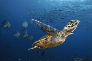 A Hawksbill Sea Turtle Swims Past Batfish and Barracuda by David Doubilet