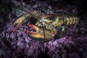 A Lobster Rests on the Seafloor Off Bonaventure Island in the Gulf of Saint Lawrence by David Doubilet