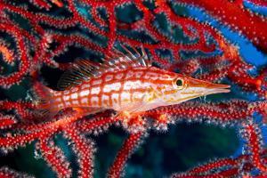 A Longnose Hawkfish in Gorgonian Coral on Ann Sophie's Reef in Kimbe Bay by David Doubilet