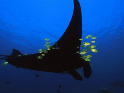 A manta ray with yellow striped jacks by David Doubilet