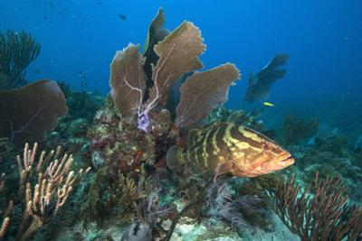 A Nassau Grouper Swims in the Rich Coral Reefs of Gardens of the Queen by David Doubilet
