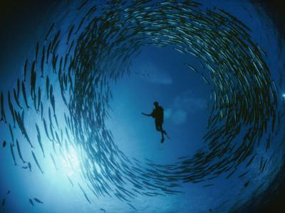 A Naturalist Is Ringed by a Group of Rotating Barracuda by David Doubilet