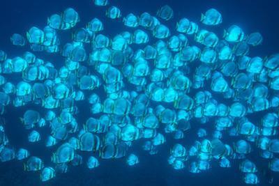 A school of batfish swim in Tubbataha Reefs Natural Park. by David Doubilet