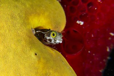 A Spinyhead Blenny Peers from the Safety of its Burrow in a Yellow Sponge by David Doubilet