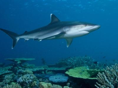 A Whitetip Reef Shark Cruises Over Great Detached Reef by David Doubilet