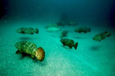 Atlantic Goliath Groupers Hover Above the Warrior Artificial Reef by David Doubilet