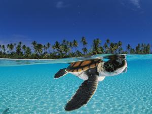 Baby green sea turtle swimming in a tropical paradise by David Doubilet