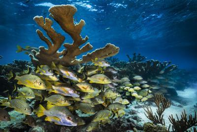 Bluestriped grunts and schoolmaster snappers swim between branches of elkhorn coral by David Doubilet