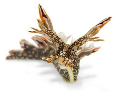 Bornella anguilla flees danger by folding in its appendages by David Doubilet