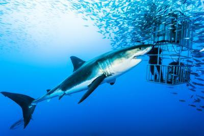 Female Great White Shark, Carcharodon Carcharias, Swimming Near a Diving Cage by David Doubilet