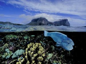 Humphead Wrasse and Other Fish Swimming in a Coral Reef by David Doubilet