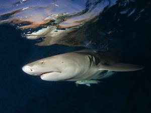 Lemon Shark on Patrol Below Surface at Dusk in Bahamas a Shark Sanctuary by David Doubilet