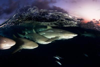 Lemon Sharks on Patrol at Sunset in the Bahama Banks by David Doubilet