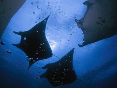 Manta rays over Manta Point by David Doubilet