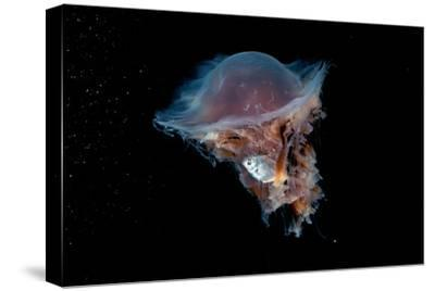Portrait of a Lion's Mane Jellyfish, Cyanea Capillata, with a Butterfish Caught in its Tentacles by David Doubilet