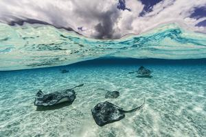 Southern Stingrays Swim across the Shallow White Sands Off Grand Cayman Island by David Doubilet