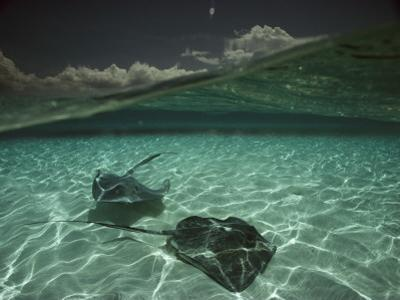 Two Stingrays Cruise the Shallows of the Caribbean Sea by David Doubilet