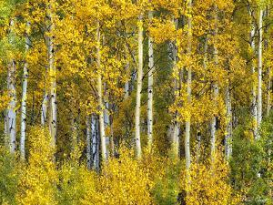 Yellow Woods II by David Drost