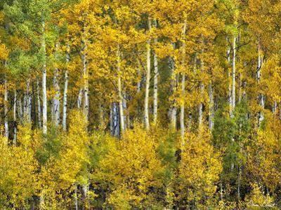 Yellow Woods III by David Drost