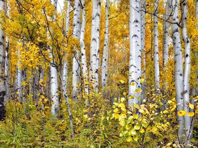Yellow Woods IV by David Drost