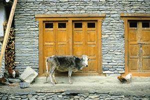 A Cow and Chickens Outside a Stone Farm House in Yunan Province by David Edwards