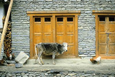 A Cow and Chickens Outside a Stone Farm House in Yunan Province